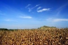 Golden corn field and a blue sky Stock Photos