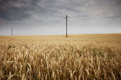 Golden corn field in countryside Royalty Free Stock Images