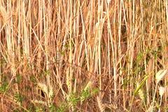 Golden corn field Royalty Free Stock Image