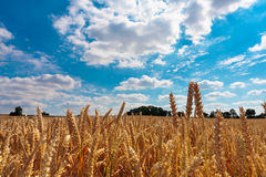Golden corn field ready for harvesting Royalty Free Stock Image