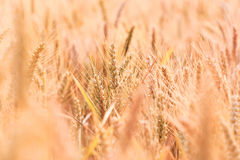 Golden corn field in detail Stock Images