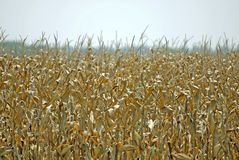 Golden Corn for Fuel. Golden Corn is ready for harvest Stock Image
