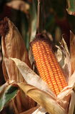 Golden Corn Stock Images