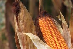 Corn Ears. Golden Ripen Corn Ears with Husk stock images