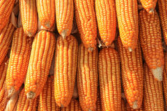 Golden corn. Rows of golden corn for food or decorate Royalty Free Stock Photos