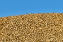 Golden Corn Stalks Stock Image