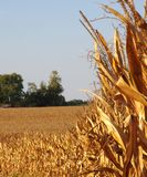 Golden corn stalks ready for harvest in midwest royalty free stock photography