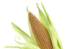 Golden corncob is among fresh leaves. Stock Image