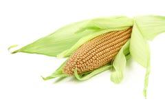 Golden corncob is among fresh leaves. White background Royalty Free Stock Photo