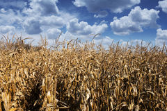 Golden cornfield Stock Images