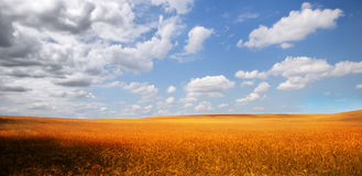 Golden cornfield. In the Bakony mountains royalty free stock image