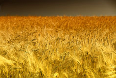 Golden Cornfield in Pfalz, Germany Stock Photography