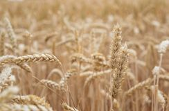 Golden cornfield ready for harvest. Wheat right before harvest in the summer Royalty Free Stock Photography