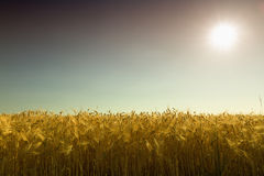 Golden cornfield (rye) against the light in Pfalz. Germany Royalty Free Stock Photos