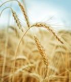 Golden cornfield in summer day Stock Photo