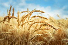 Golden cornfield in sunny day Stock Photos