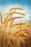 Golden cornfield in sunny day Stock Image