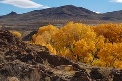 Golden cottonwoods #3 Stock Image