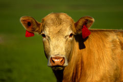 Golden Cow. A golden-colored cow in a pasture as the sun sets royalty free stock image
