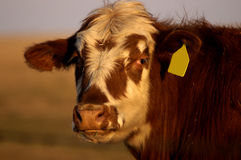 Golden Cow. Head and shoulders shot of a tagged cow Stock Photos