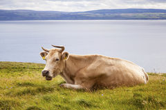 Golden Cow Stock Images