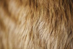 Golden Cow Hair Background. A piece of hide with golden hair for a background or detail use Stock Images