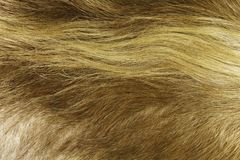 Golden Cow Hide Background. A golden cow hide with long hair for an abstract ranch or farm background Royalty Free Stock Image