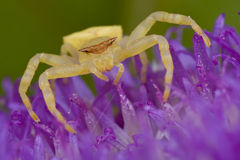 Golden crab spider Stock Photography