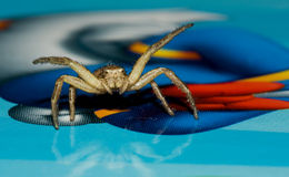 Golden Crab spider front Royalty Free Stock Photography