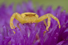 Golden crab spider on porcupine flower Royalty Free Stock Image