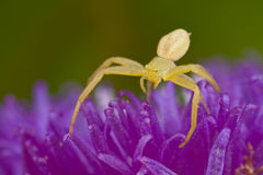 A golden crab spider on purple porcupine flower Royalty Free Stock Images