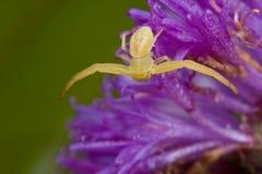 A golden crab spider on purple porcupine flower Stock Photos