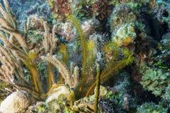 Golden Crinoid stock photo