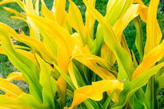 Golden Crinum Crinum xanthophyllum. Is also known as Thai Yellow Crinum and is native to Melanesia Stock Image
