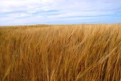 Golden crop 3 Stock Images