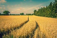 Golden crop field scenery Stock Image