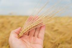 Golden crop in hand over field Stock Photos