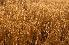 Golden Crops Stock Photo