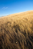 Golden crops and blue sky. Golden crops and blue skies, fall shot taken in remote mountain fields stock photos