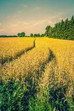 Golden crops on a countryside Royalty Free Stock Images