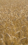 Golden crops field. Crops bathing on a sunny summer day stock photography
