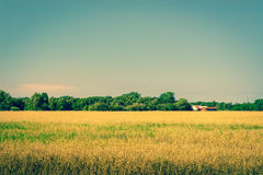 Golden crops on a field with a barn Royalty Free Stock Image