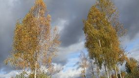 Golden crown of birch trees, blue sky, snowy clouds. Video. Crown of autumn birches with yellow leaves on background of blue cloudy sky. The wind is rocking stock footage