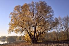 Golden crown of a tree by the river stock photography