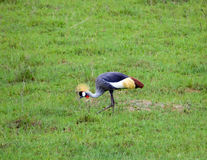 Golden Crowned Crane Royalty Free Stock Image