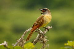 The Golden crowned Flycatcher at the coast of Ecuador. The Golden-crowned Flycatcher at the coastline of Ecuador, near Puerto Lopez royalty free stock image