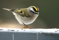 Golden-crowned Kinglet Royalty Free Stock Image