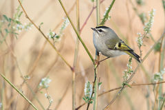Golden-crowned Kinglet In Autumn Stock Photography