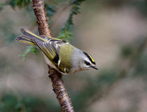 Golden crowned Kinglet Royalty Free Stock Images