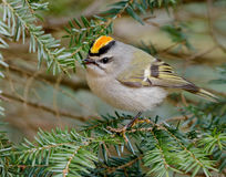 Golden crowned Kinglet Stock Photography